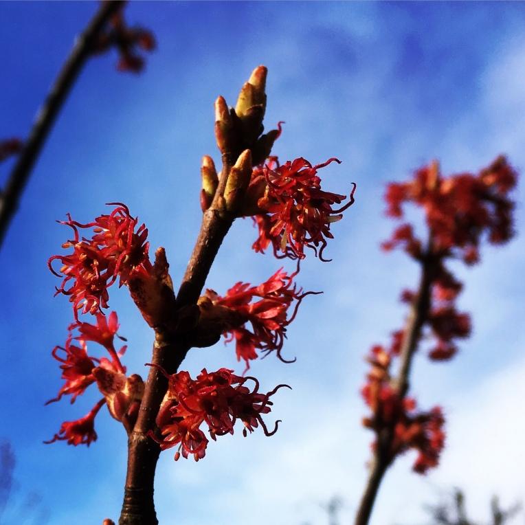 Acer rubrum buds bursting in the April sunshine ©️Gary Webb 2018