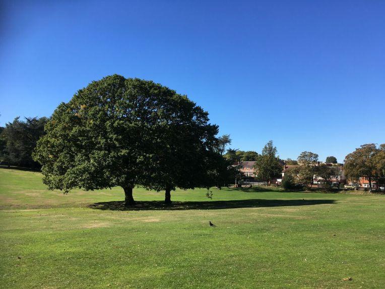 Sessile oaks at Warley Woods