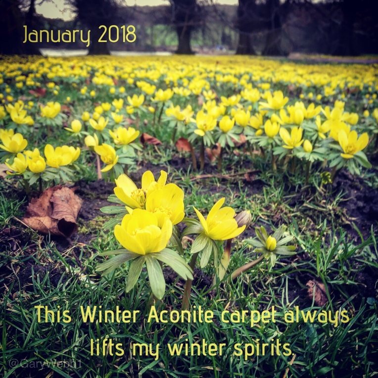 Bright yellow winter aconite flowers photographed low to the ground at Compton Verney