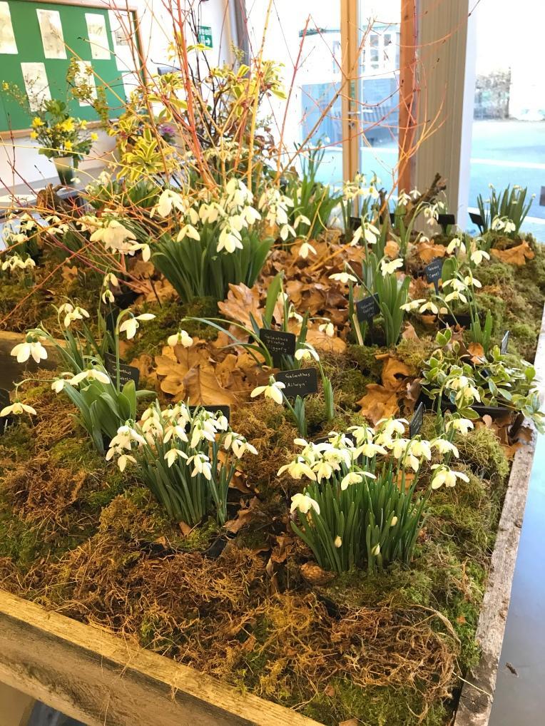 Snowdrop display at Hill Close Gardens