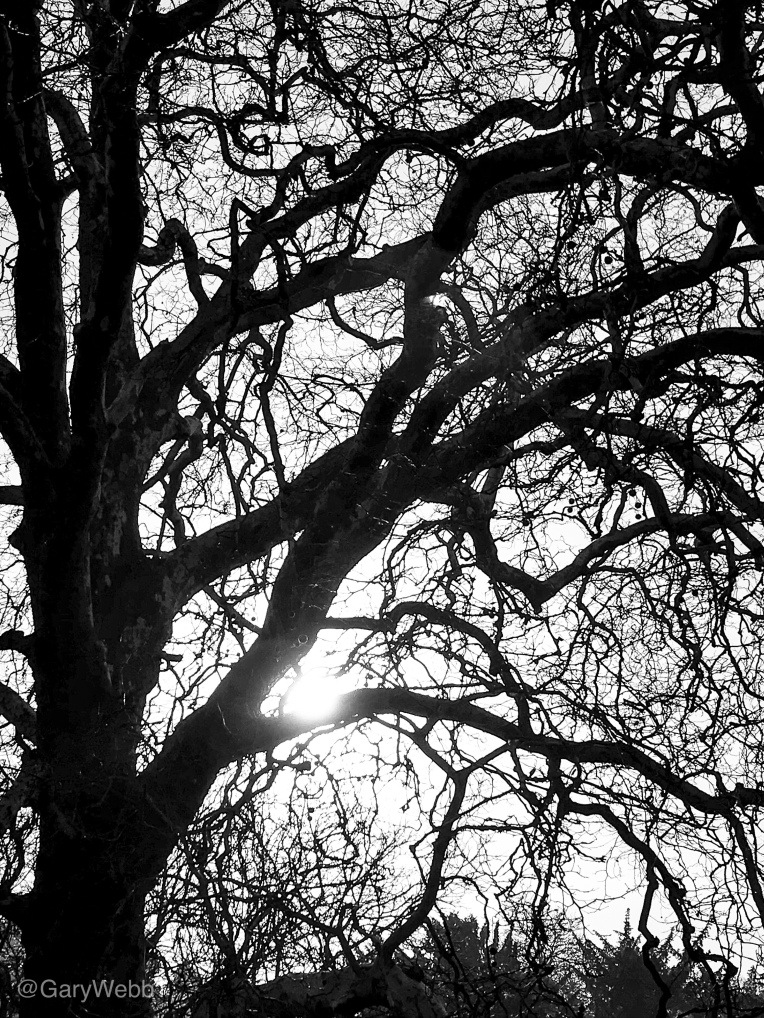 Silhouette of the canopy of a London Plane tree.