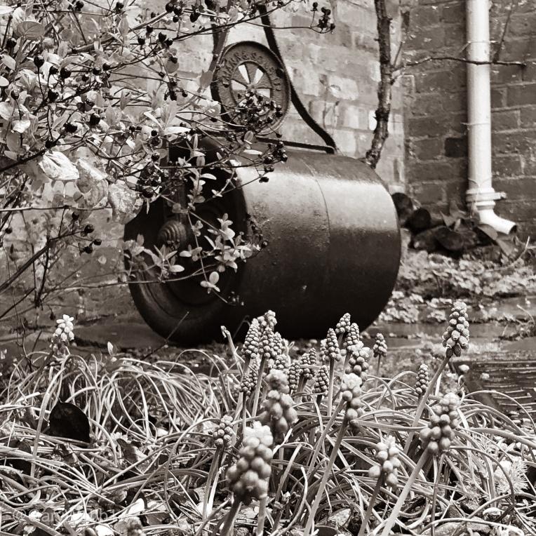 Grape hyacinths, or Muscari, before an antique garden roller at Elgar's Birthplace. Copyright: Gary Webb 2019