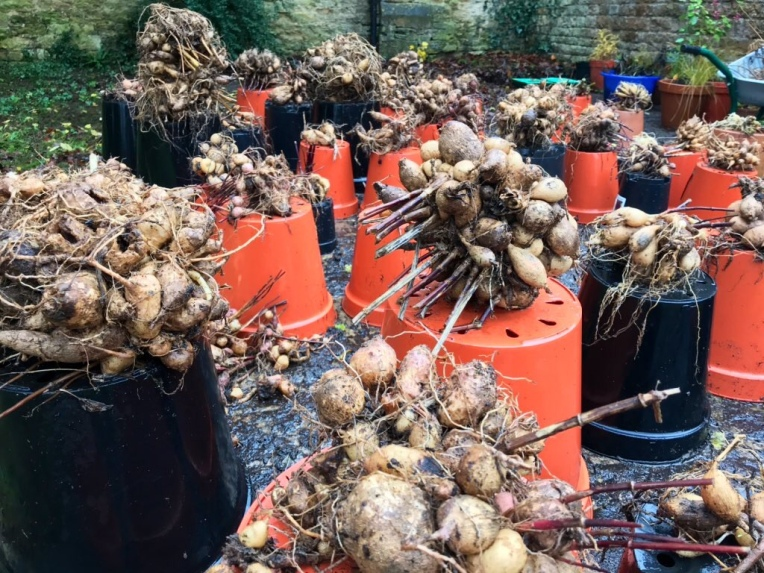 Dahlia tuners being washed before storing for winter.