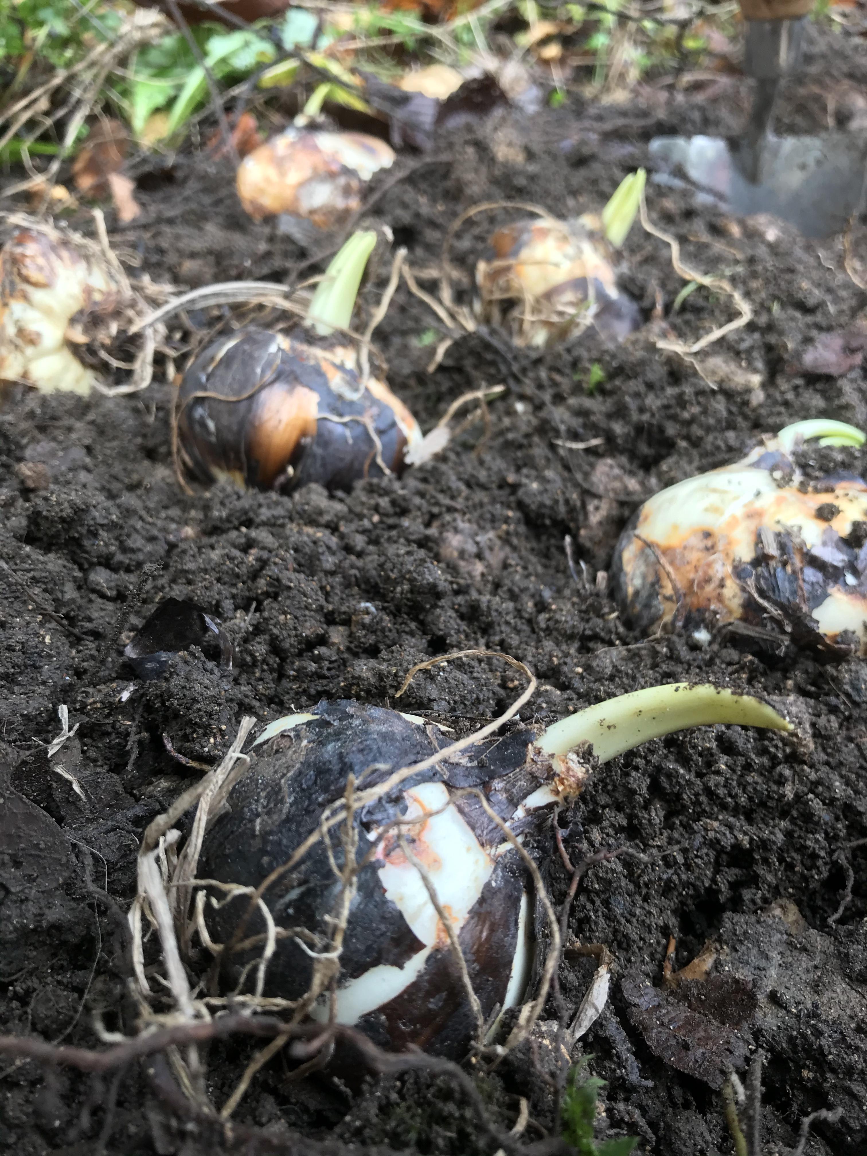 Camassia bulb planting at Broadwell