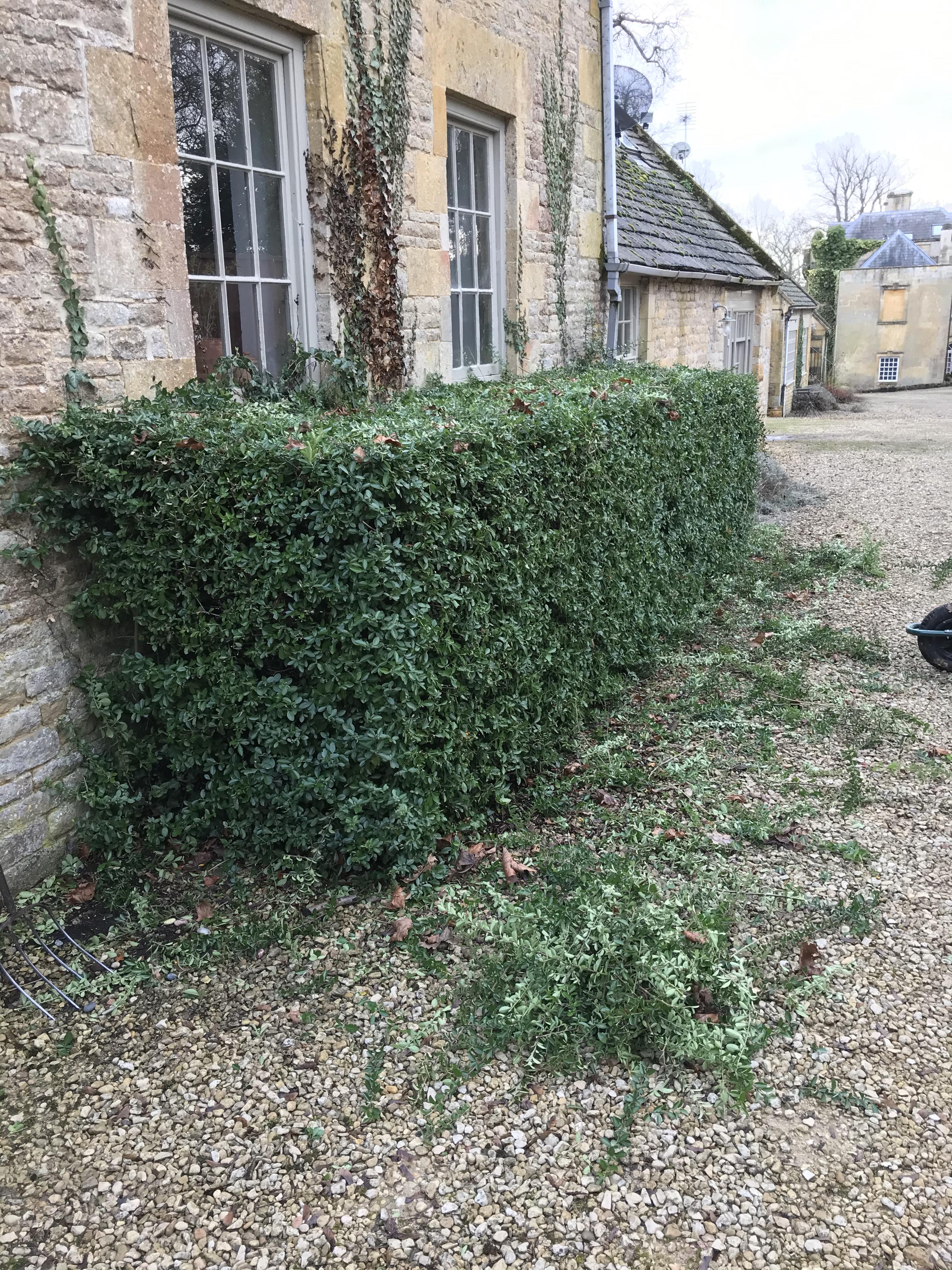 Hedge trimming a thorny bush