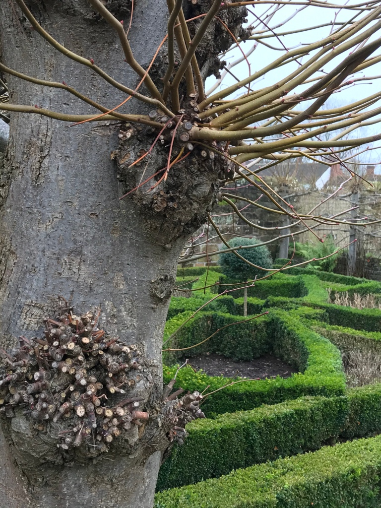 Detail of  preached limes beside a knot garden at Kenilworth Castle