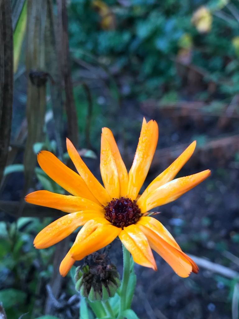 A marigold flower defies the winter chill to flower