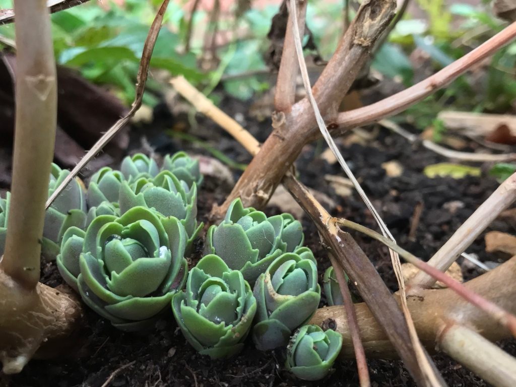 Ice plant shoots waiting patiently in the winter garden