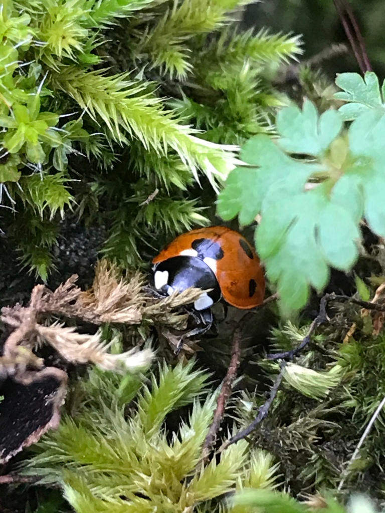 A ladybird quite content in its winter dry stone wall home.