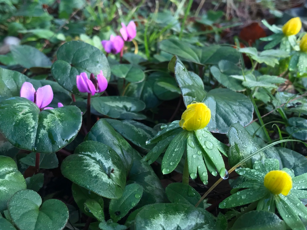 Ivy-leaved cyclamen ad winter aconites in the January Garden