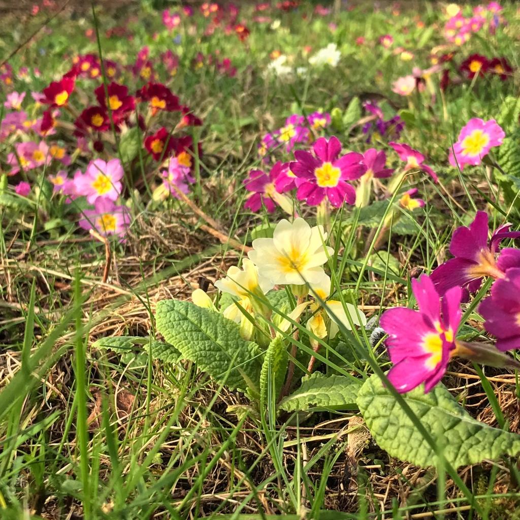 A garden primula bejewelled lawn