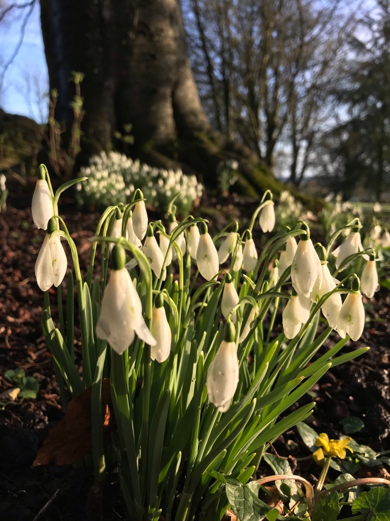Snowdrops in the morning sunshine