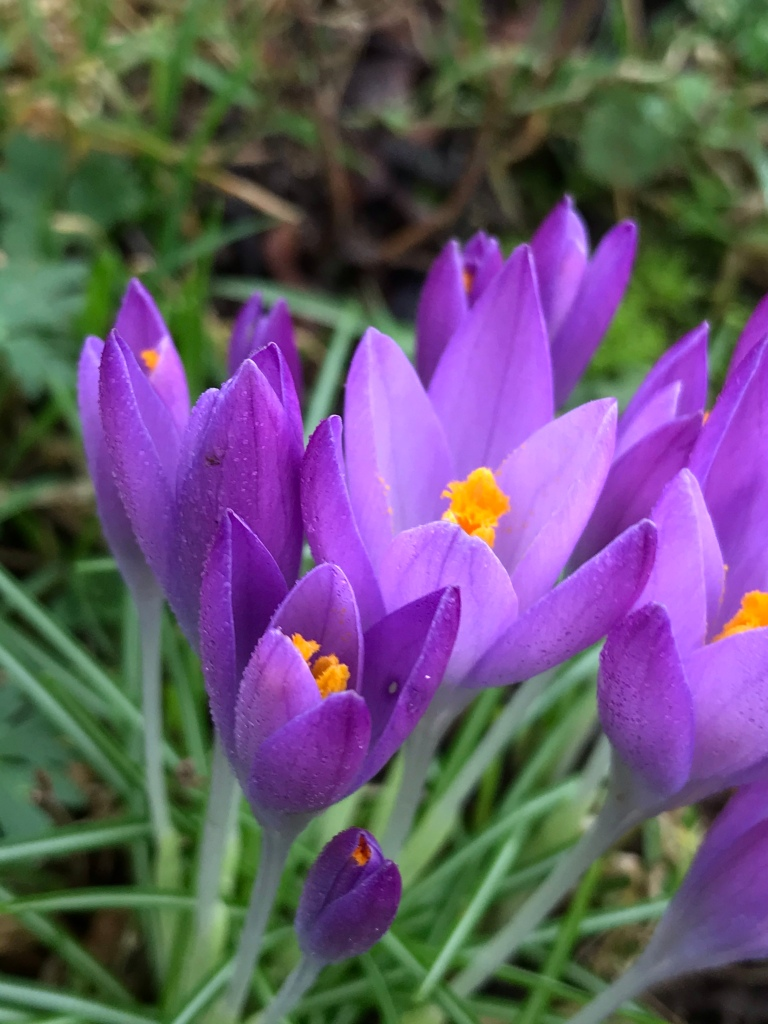 Early crocus or 'tommies' in the January garden