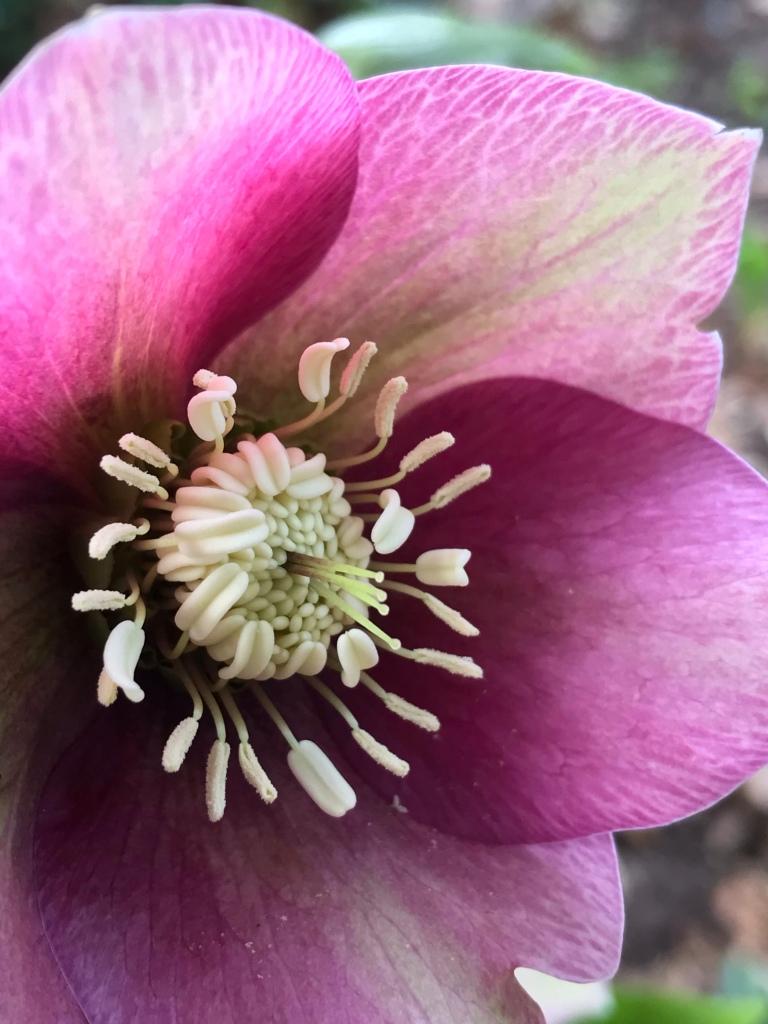 Hellebores orientalists flower close up at Carlecote Park