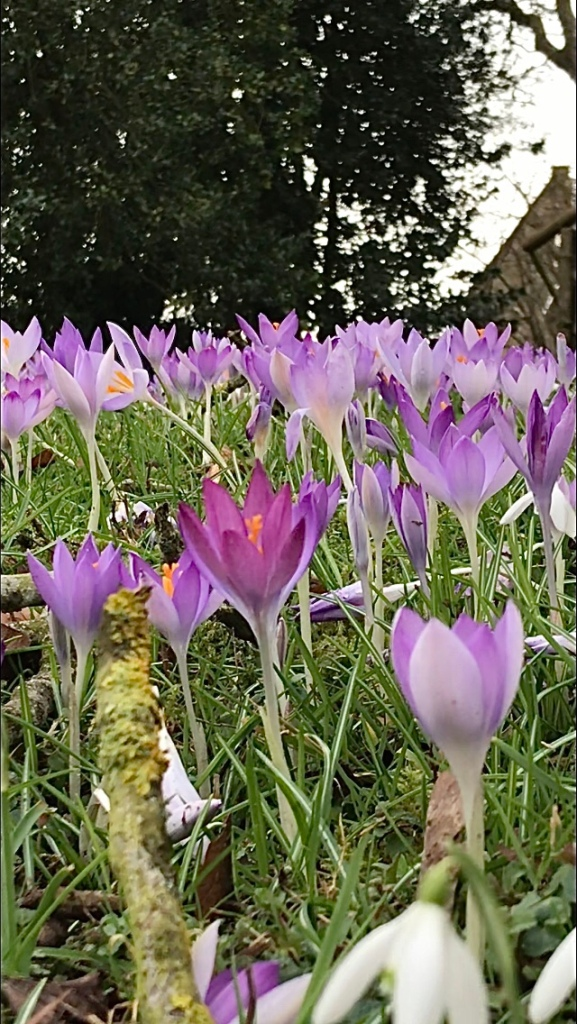 Crocus tommasinianus, or early crocus, or 'Tommies' in the garden at Broadwell Manor