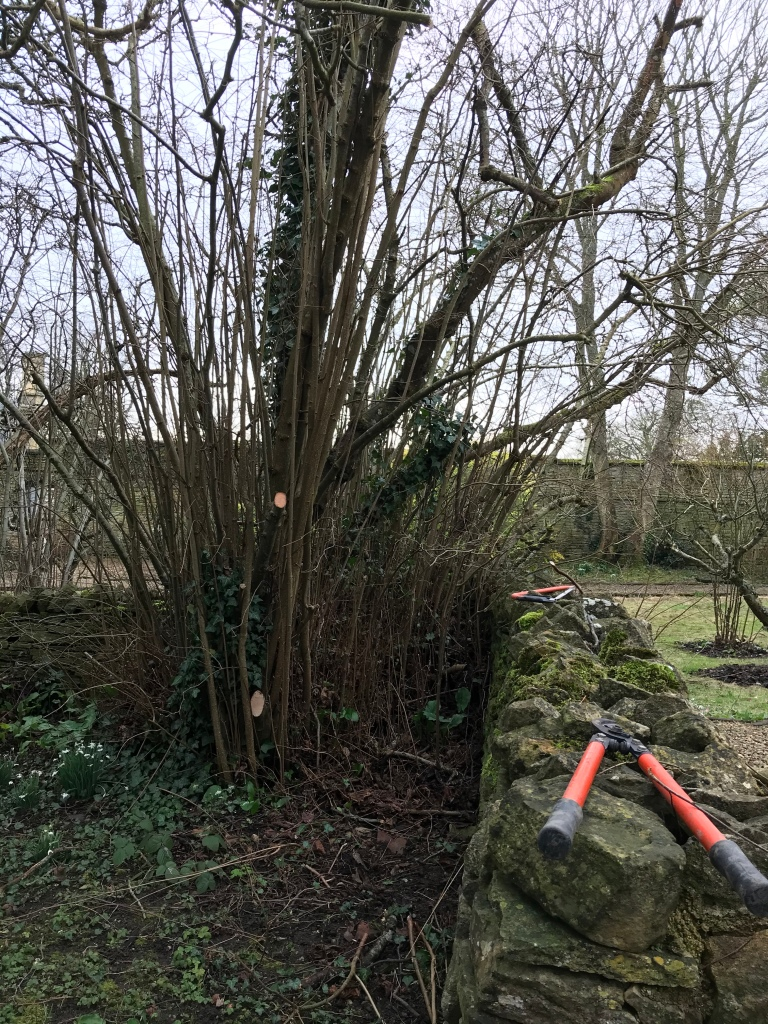 An established coppice stool prior to coppicing