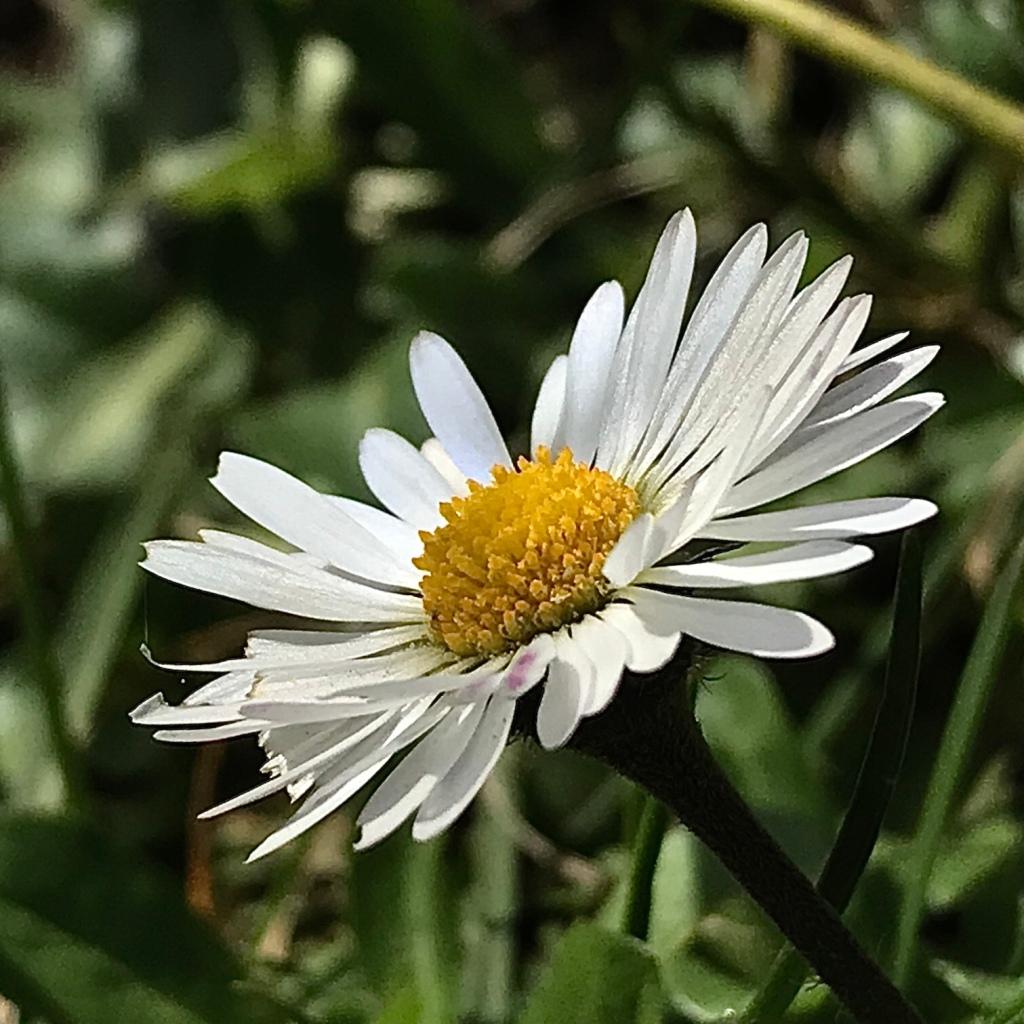 Daisy flower in the sunshine