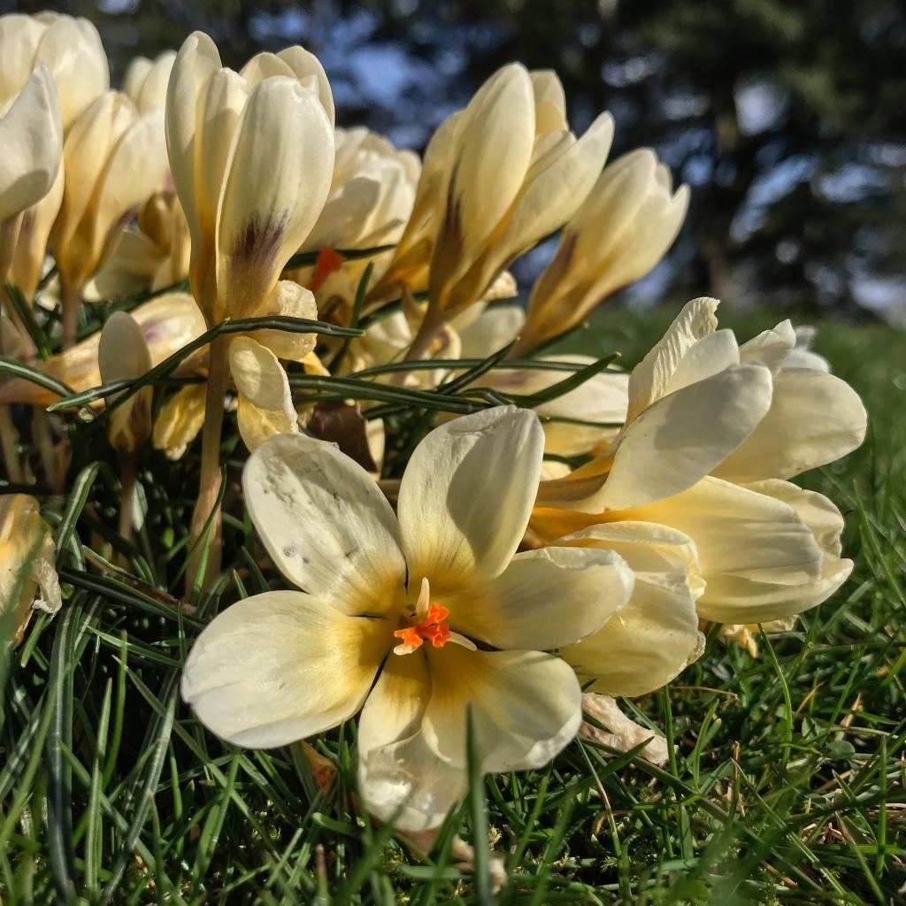 Creamy coloured crocus flower, posibyl 'Creme Beauty'