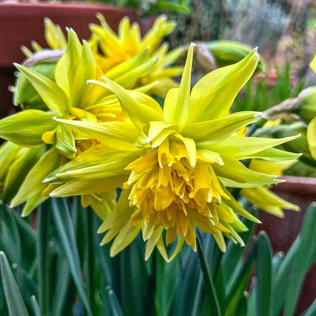 Daffodil, or Narcissus RIP van Winkle