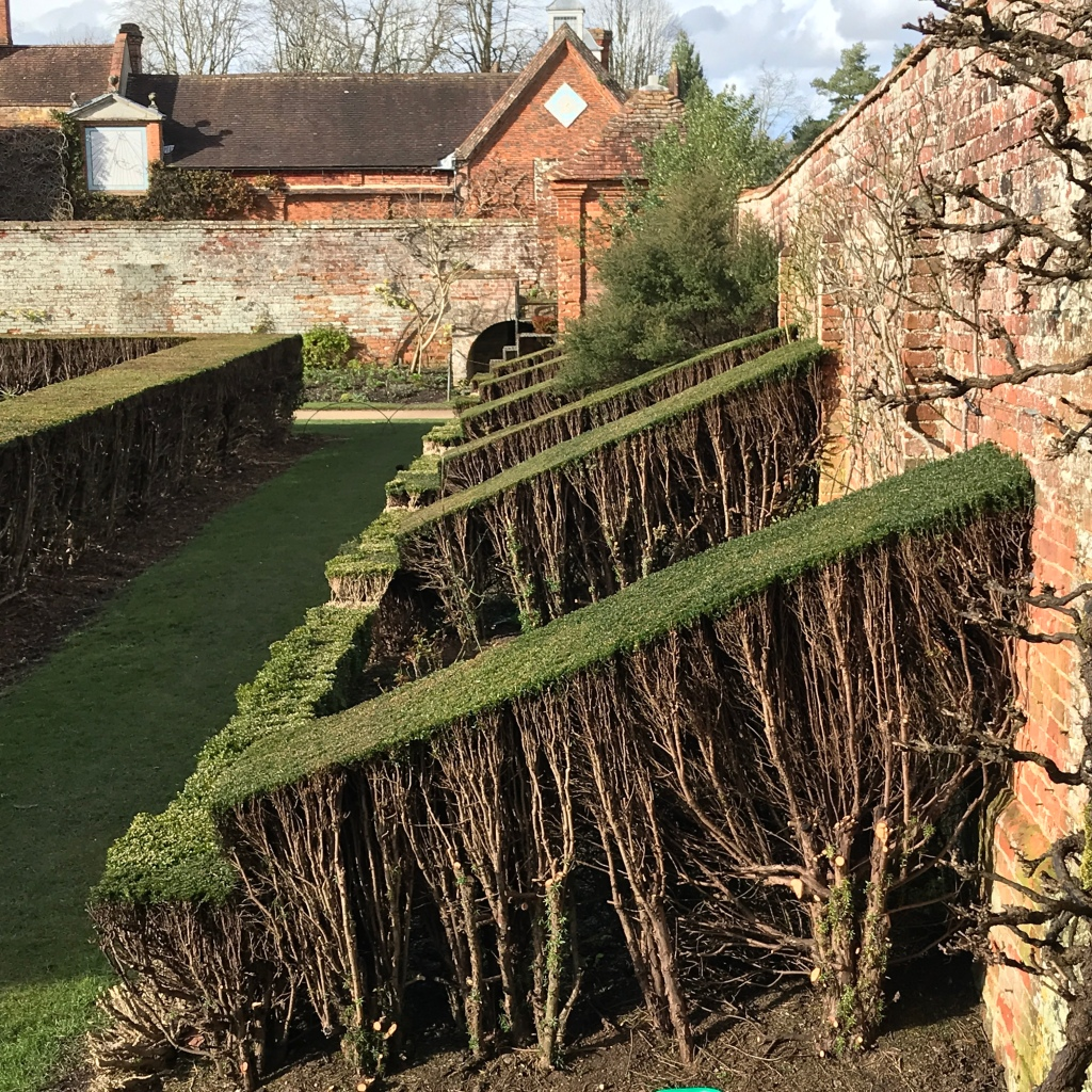 Yes hedge renovation at Packwood House, Warwickshire.
