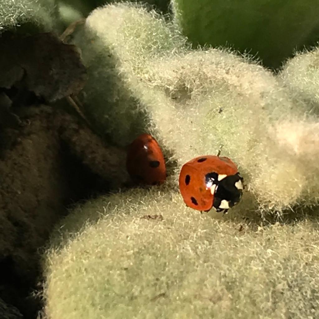 Ladybird on a sot mullein leaf