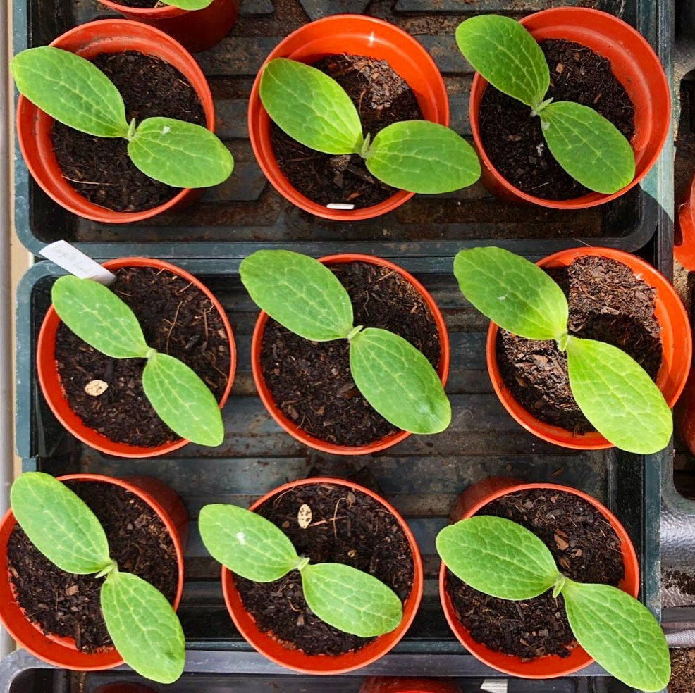 Courgette seedlings, growing our own