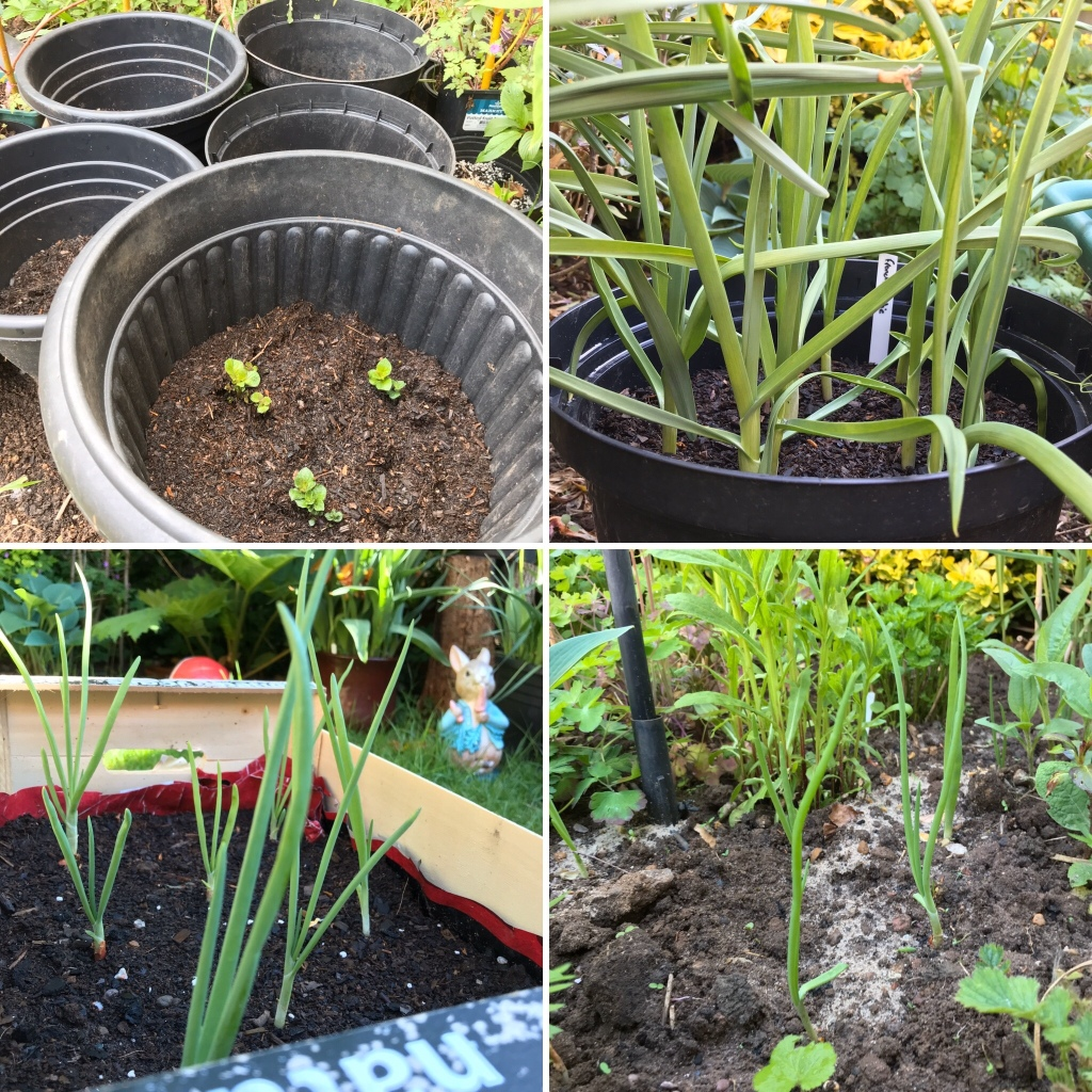Potatoes  and garlic and onion plants growing
