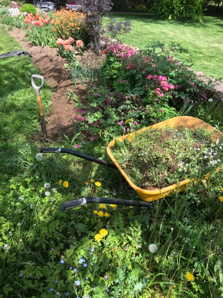 Weeding in process with cleared fresh soil completed and weed encrusted soil awaiting a garden fork