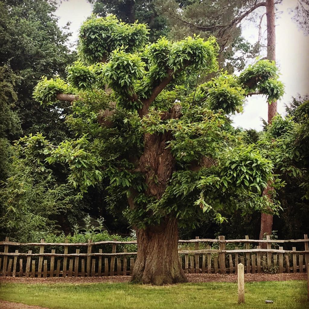 Sweet chestnut at Charlecote Park