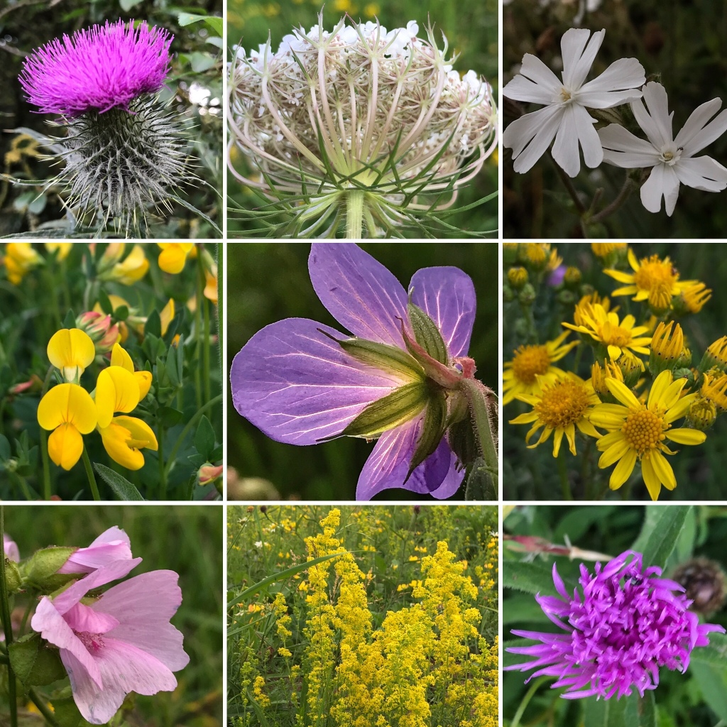 A selection of wild flowers spotted on a late June walk