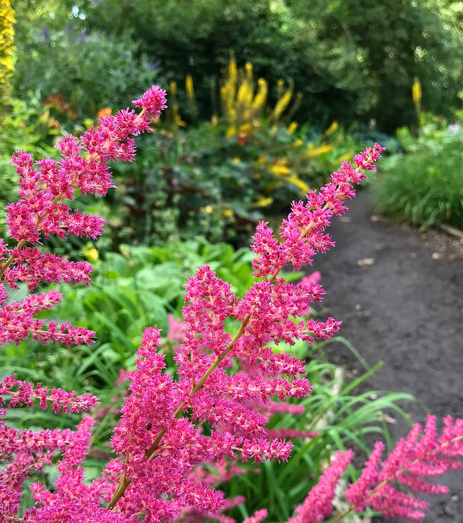 Bright pink plumes of Astilbe flowers lighting up a big garden