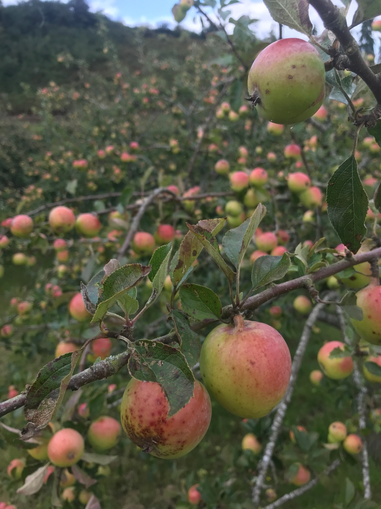A photo showing lots of apples ripening across the trees in an orchard