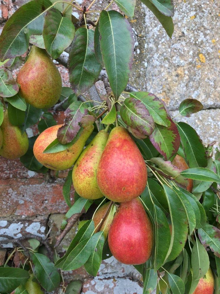 An image showing ripenening pears on an old espalier tree in a walled garden.