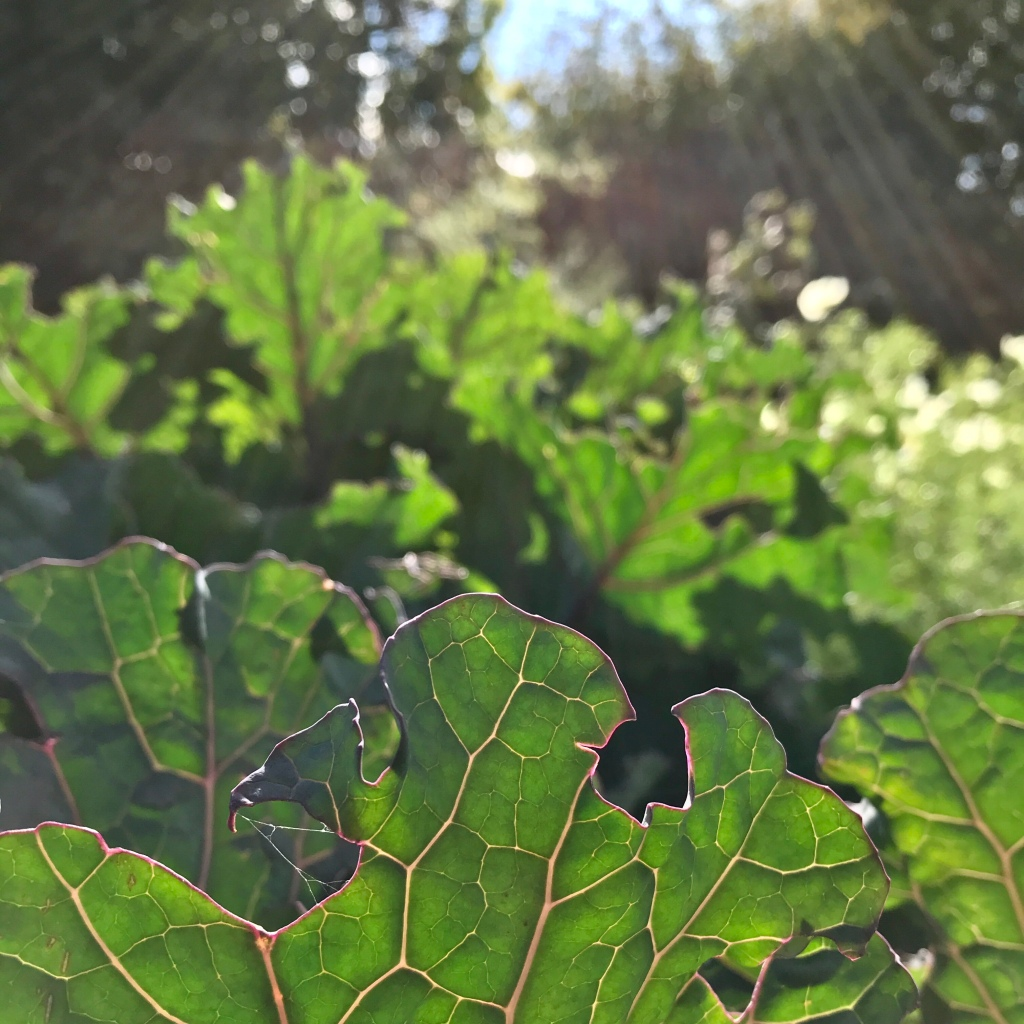 Brassica foliage lit brightly by sunshine
