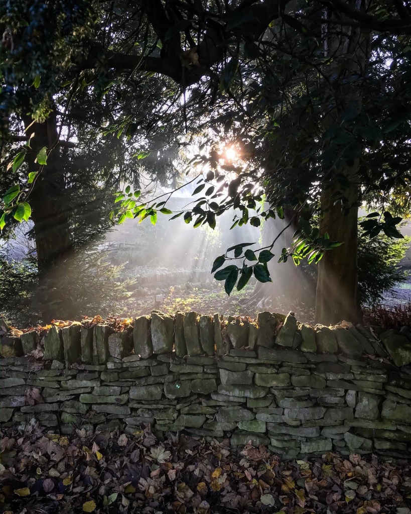 Morning sunshine beams through a holly tree to a Cotswold drystone wall