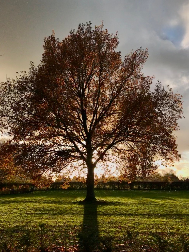 A backlit autumnal oak at Sulgrave Manor, with the setting sun right behind