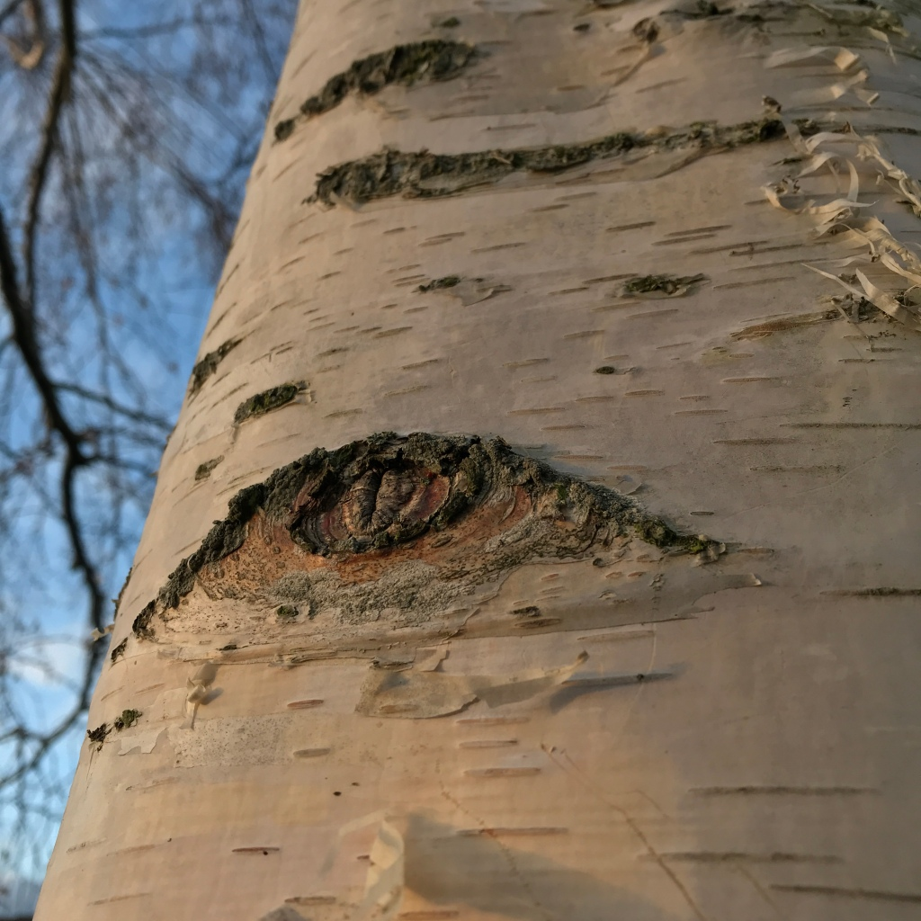 Close up photograph of a silver birch tree, its trunk bearing an eye-like wound where a branch once grew