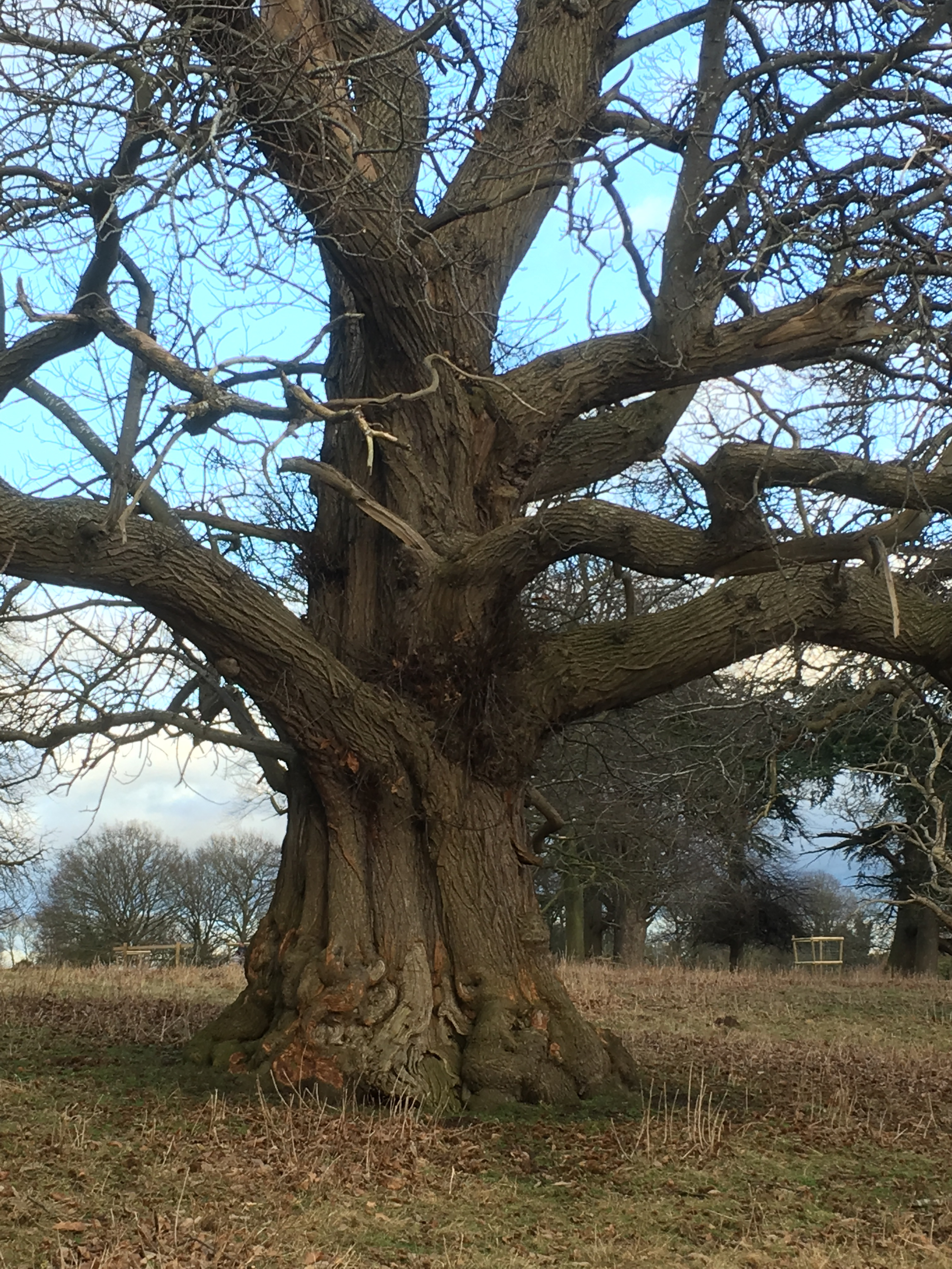 One of many parkland sweet chestnuts at Charlecote Park