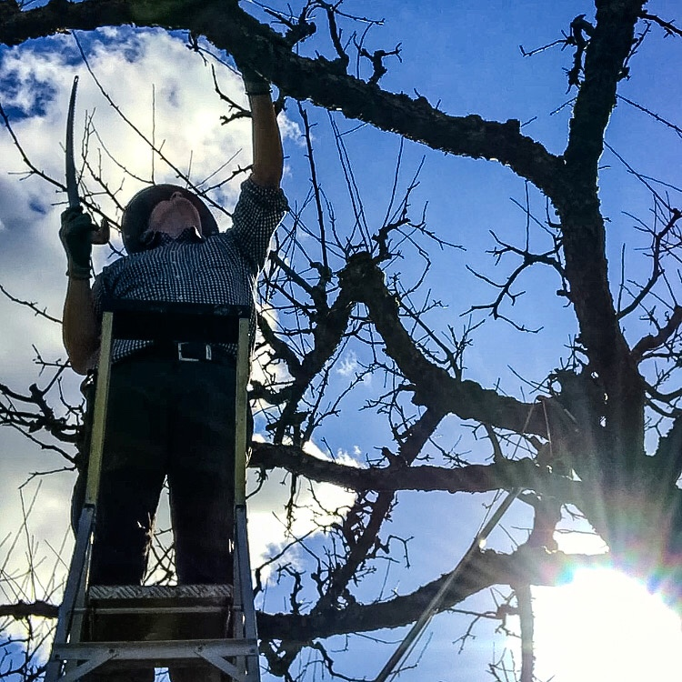Orchard pruning in action, with the gardener up high on a ladder making selective pruning cuts - the sun beaming down from the blue sky