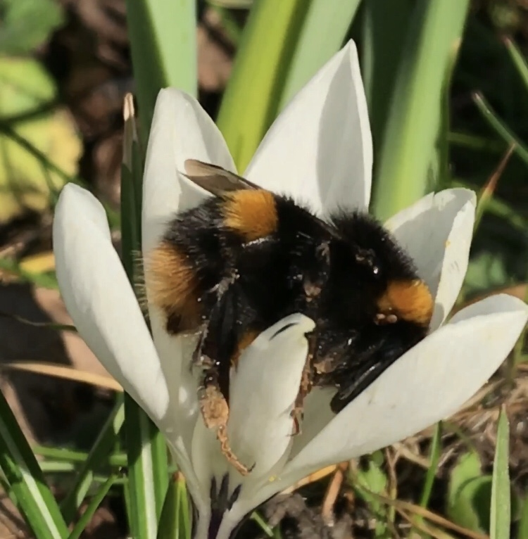 A bumblebee comfortable inside the cup of a February crocus flower