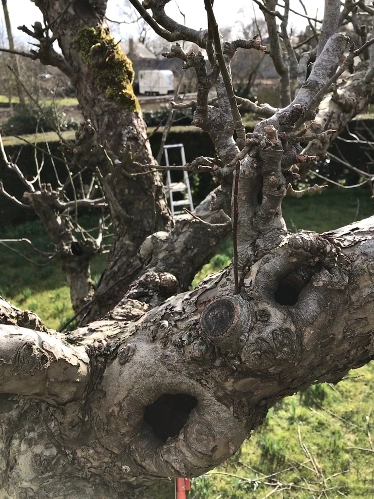 Amongst the branches of an apple tree in a heritage orchard