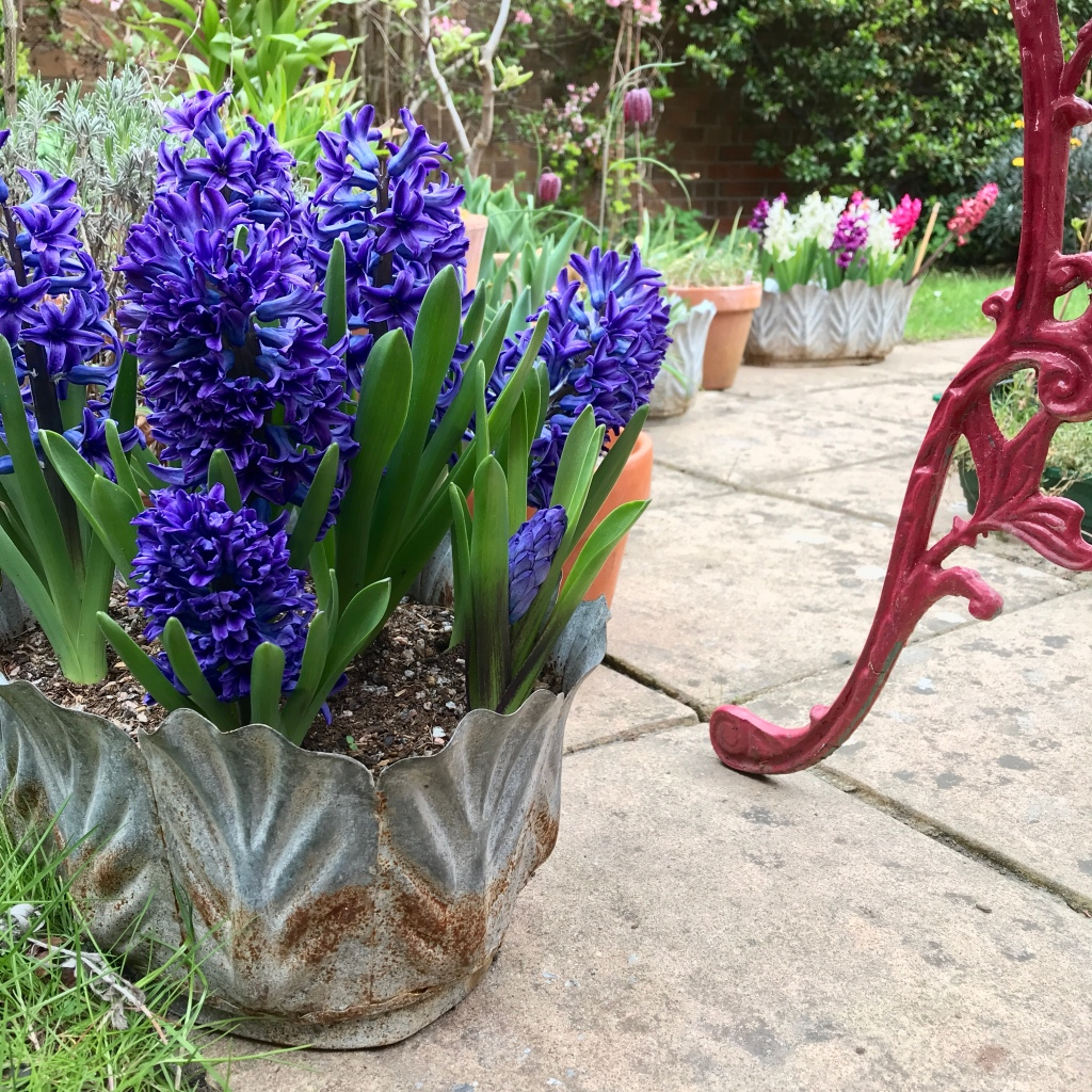 Blue hyacinth flowers in a rusting, tin pot, in the garden