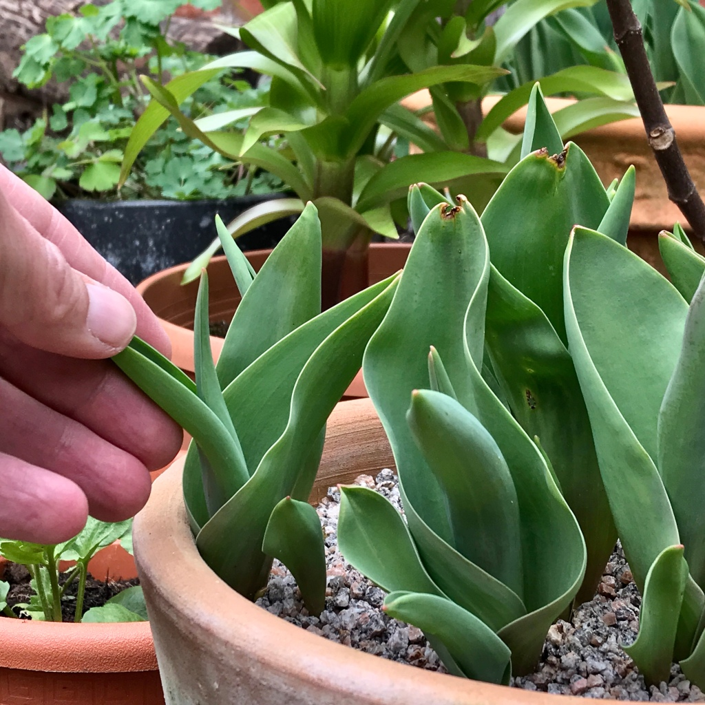 Fingers touching tulip foliage, growing closely in a garden container