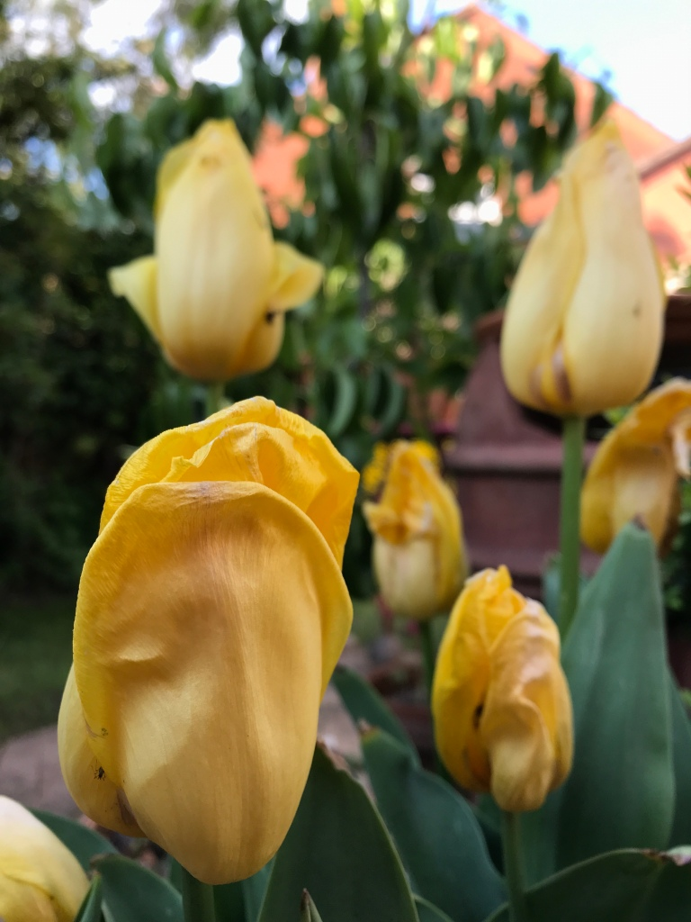 Bright yellow Tulip 'Yokohama' flowers fading towards the end of their season