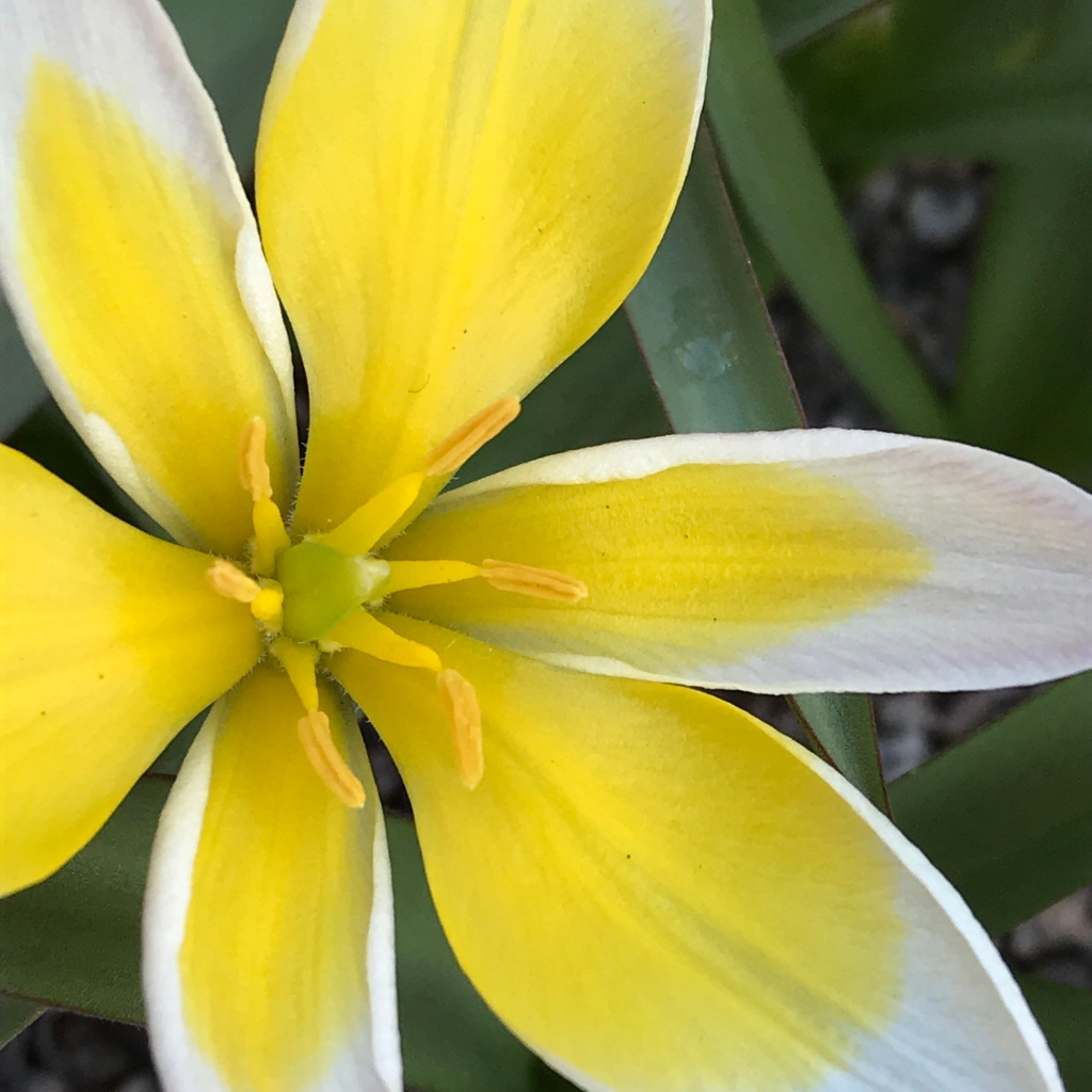 Orange Tulip Sunlover flowering in a pot outside Sulgrave Manor