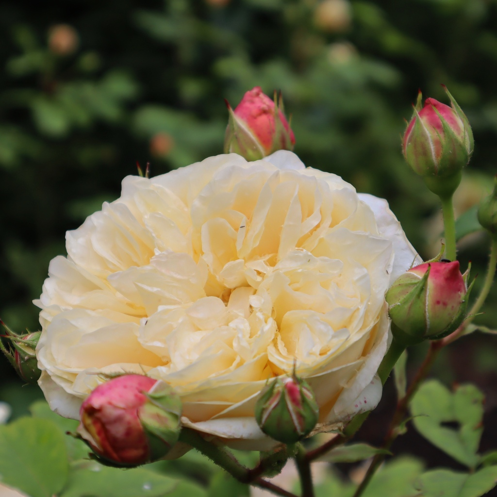 A large creamy yellow coloured rose flower surrounded by a number of pink flower buds