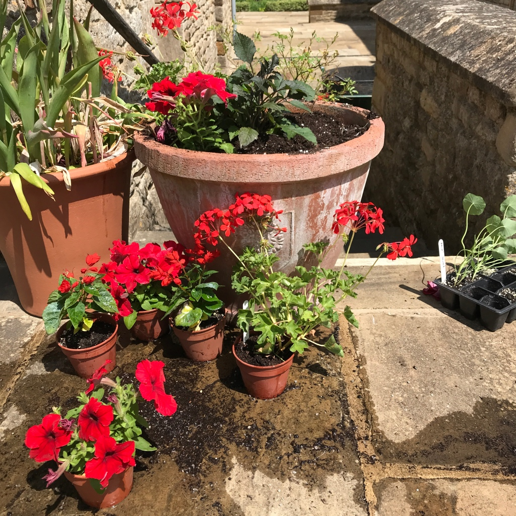 Bright red flowered annual plants being potted into a large terracotta container in June, at Sulgrave Manor.