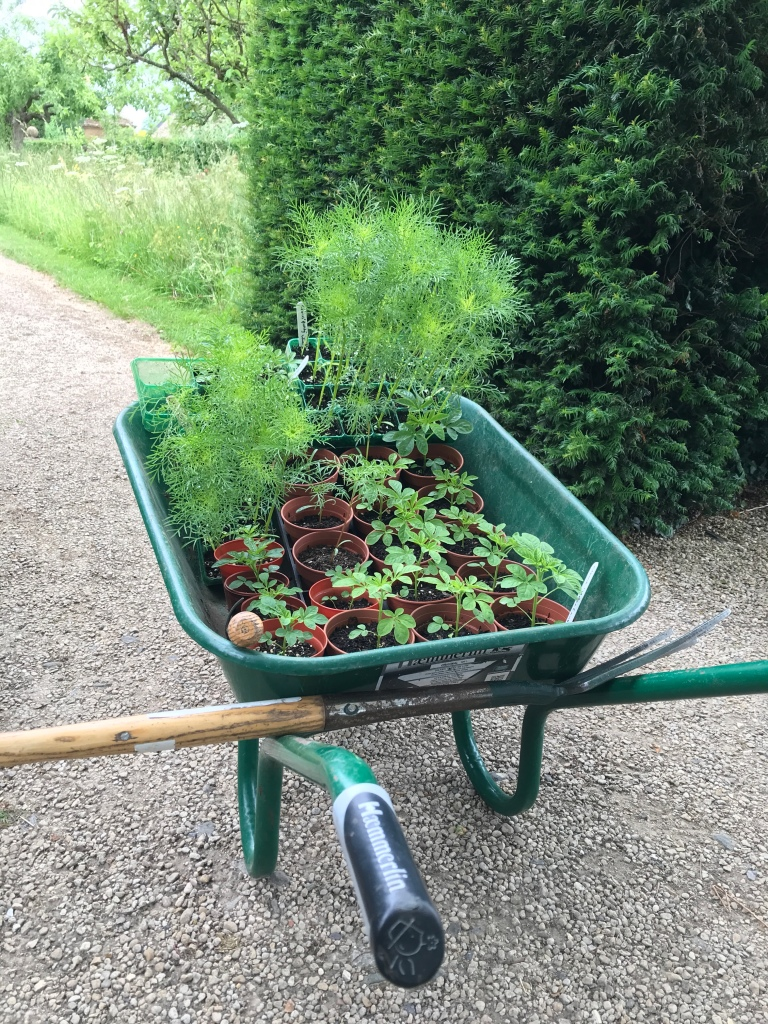 One of many wheel barrow fulls of plants heading out to the garden at Sulgrave Manor in Northants