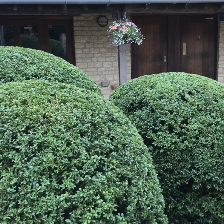 Freshly trimmed spheres of buxus at Sulgrave Manor in Northants