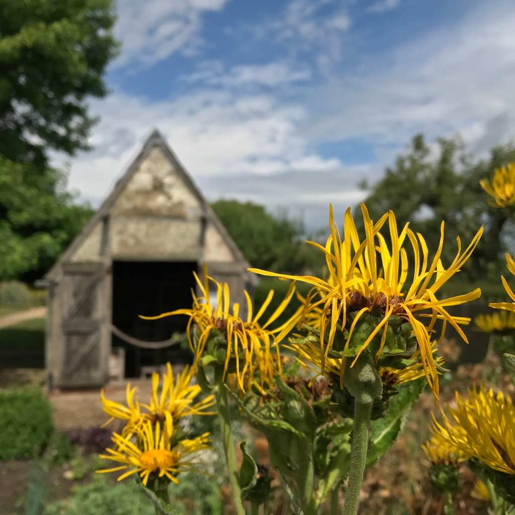 Beautiful yellow Elecampane flowers fading in the Tudor Villagers garden at Sulgrave Manor in Northants, By Gary Webb of Gardening Ways garden blog